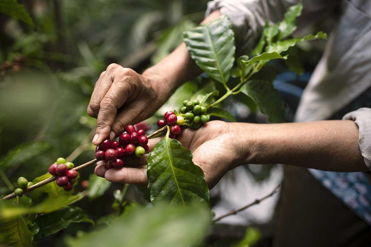 Kaffee-Bohnen pflücken